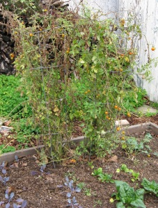 These are my two Sungold tomato plants, still producing in late January. Surrounding them are some of my winter crops, red cabbage, arugula, spinach and kale.