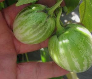 Pepino dulce Solanum muricatum