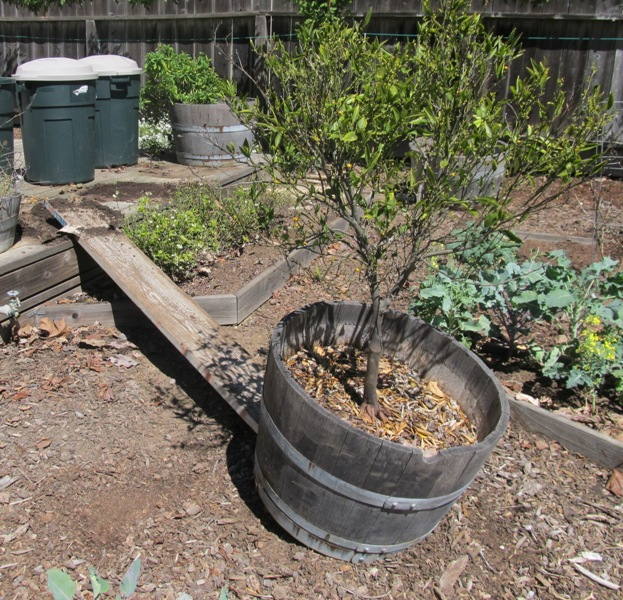 Transplanting my potted citrus trees urban agroecology for When to transplant lemon tree seedlings